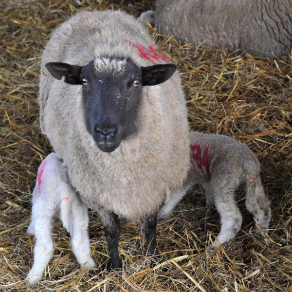 Ewe with lambs- BASF Sorgene Xtra SQUARE