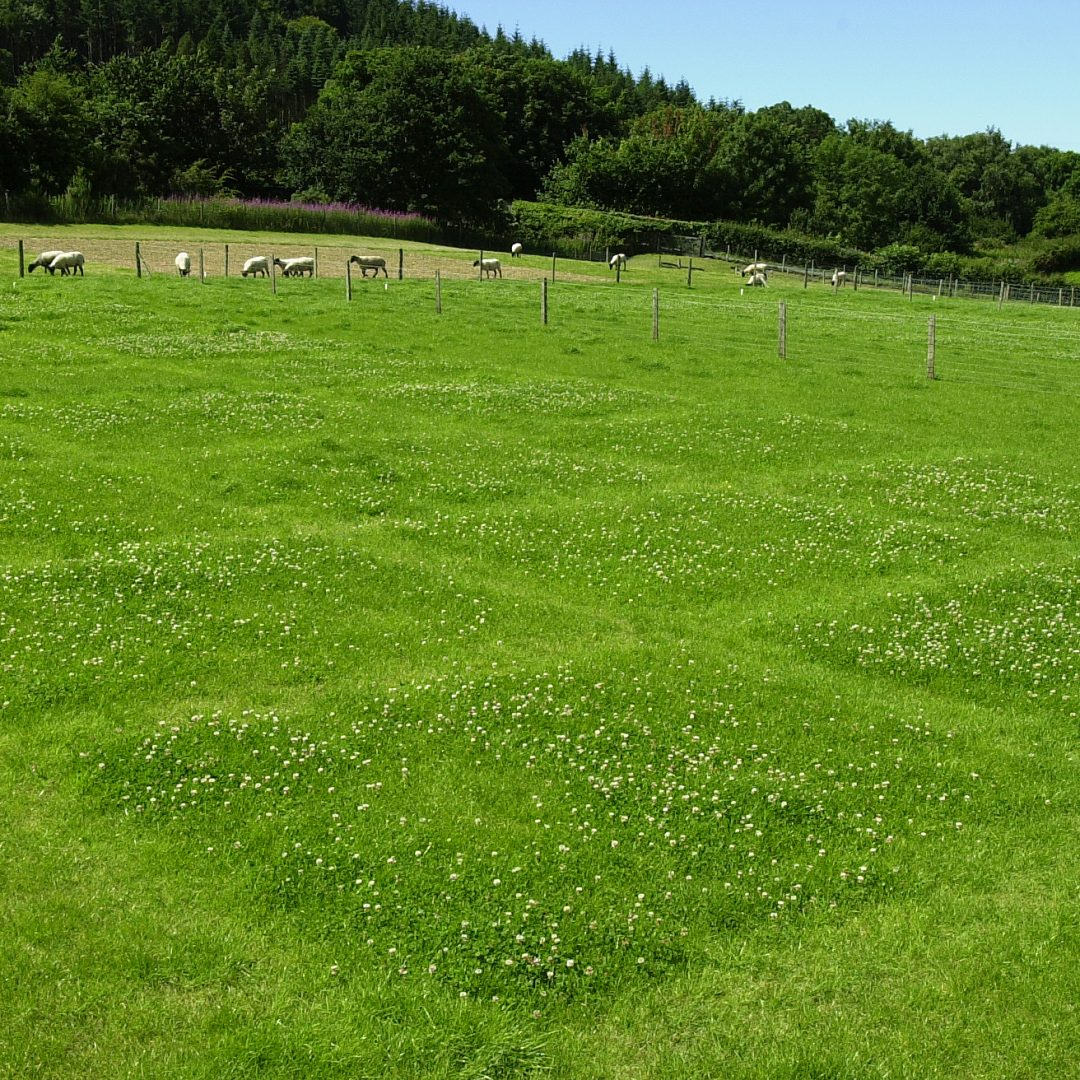 White clover grazing plots SQUARE
