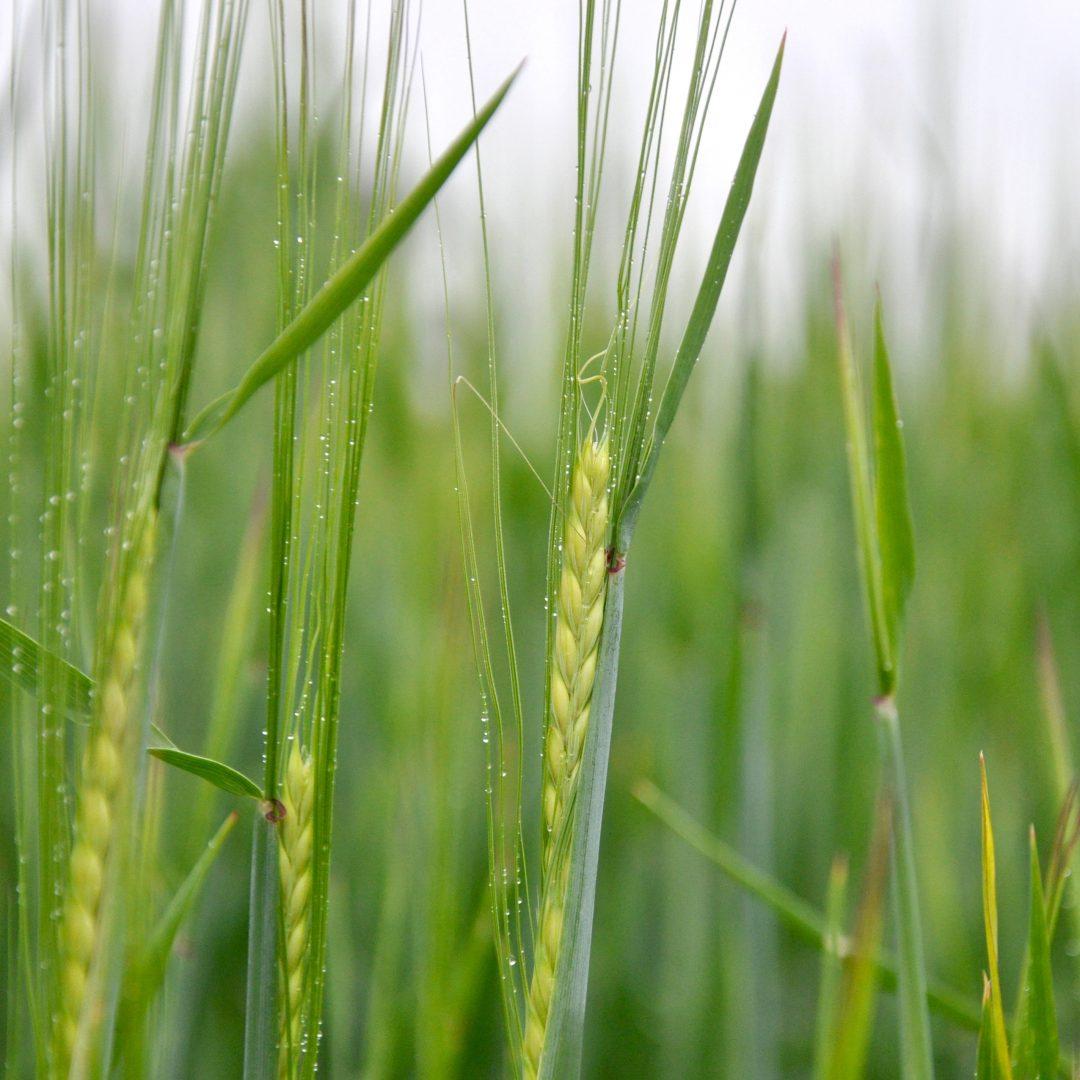 Spring barley SQUARE