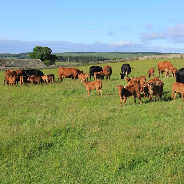 Stabiliser cows and calves SQUARE