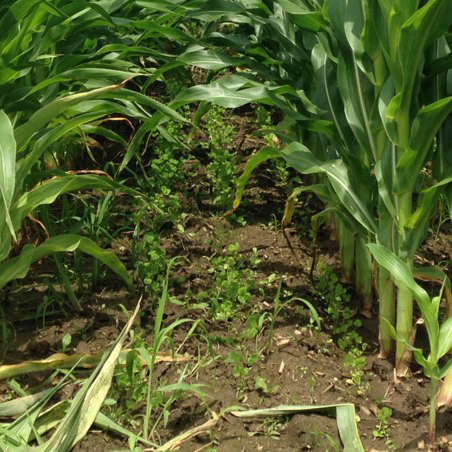 Interseeding cover crops into corn Dr Ryan Haden Ohio State University SQUARE